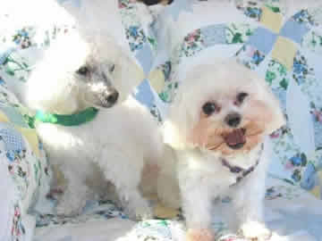A white blind & deaf dog sits on a couch with a small white dog who has a heart condition & a collapsing trachia.