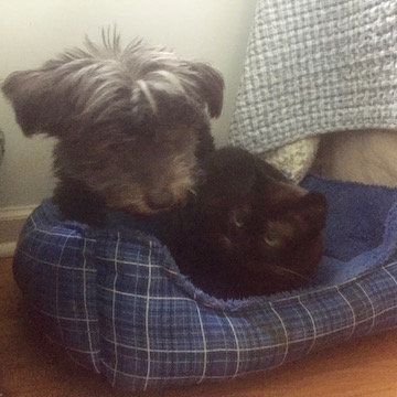 A little black dog cuddles up with a little black cat.