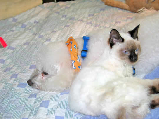 A white kitten with a black nose suggles up against a dog who is almost asleep.