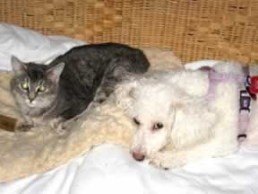 a gray cat is lying down next to a white dog