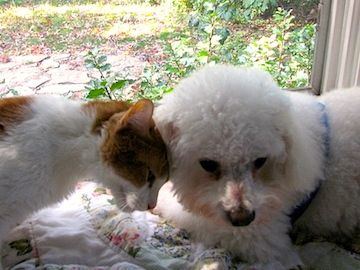 a small organige cat without beck legs puts his head against his friend, a little white dog