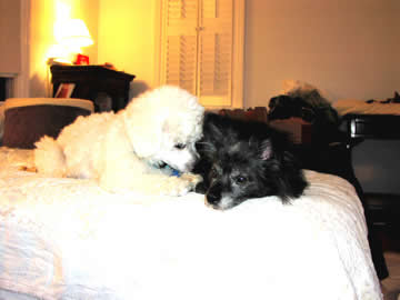 A blind & deaf white dog is snuggling up to a blind and partially deaf black dog with an autoimmune disease.