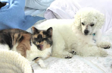 A blind cat is snuggling up to a blind & deaf white dog.