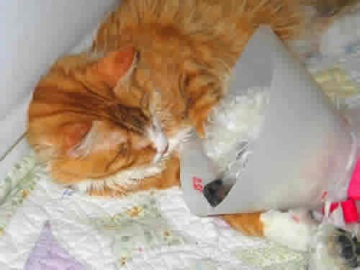 A blind & deaf white dog wearing an e-collar after surgery is leaning her head on a blind orange cat.