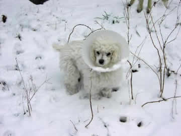 A white blind & deaf dog is wearing an e-collar in the snow, but the e-collar has scooped up some of the snow.