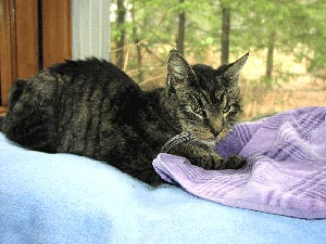 Ember is in her favorite place, a window seat looking out toward the trees     and wildlife. (The deer would pass by that window, and once a deer came       up close to the window while she was sitting there.) She is lying on a soft     blue blanket, hugging a light purple towel