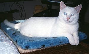 Snow, a wonderful blind white cat with opaque blue eyes and pink ears, sits on a cushion facing you, smiling