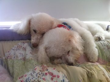 2 white dogs snuggle together as they sleep
