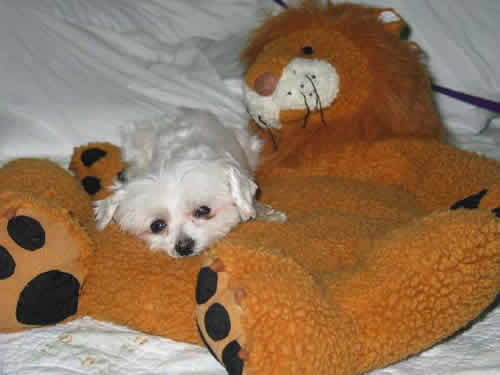 Milagro, a tiny dog, is lying across a stuffed toy lion that is several times bigger than he is.