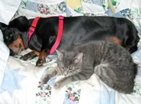 a gray cat is snuggled up to a dachshund