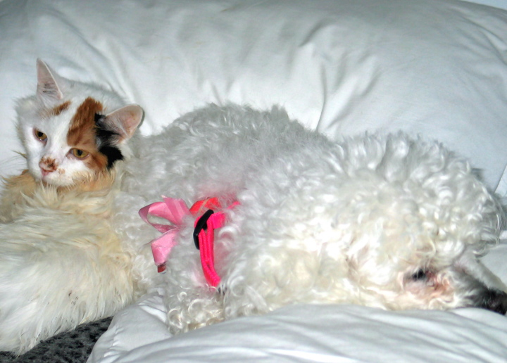 a small white cat is lying next to an elderly white dog