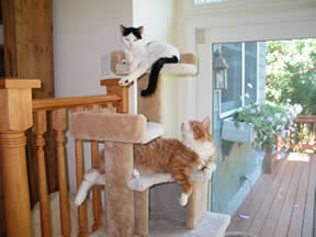 "Wendy the cat is on top of a ""cat tree,"" right above another cat, Calypso."